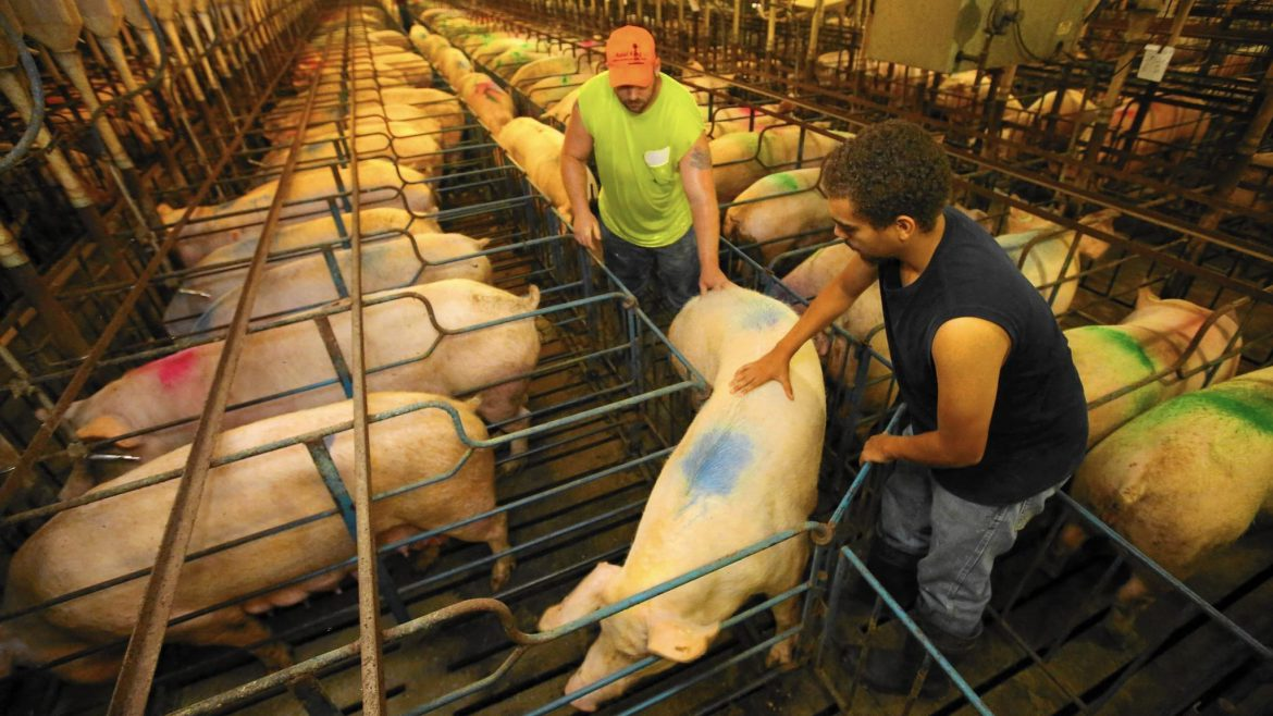 factory farms essay Animal factory: the looming threat of industrial pig, dairy, and poultry farms to humans and the environment by david kirby.